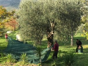 The harvest of our olives.